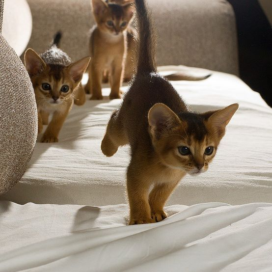"""Click visit site and Check out Best """" Abyssinian """" Cat Shirts. This website is outstanding. Tip: You can search """"your last name"""" or """"your favorite shirts"""" at search bar on the top. #Abyssinian #Cat"""