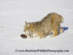 Bobcat or in Dutch: red Lynx