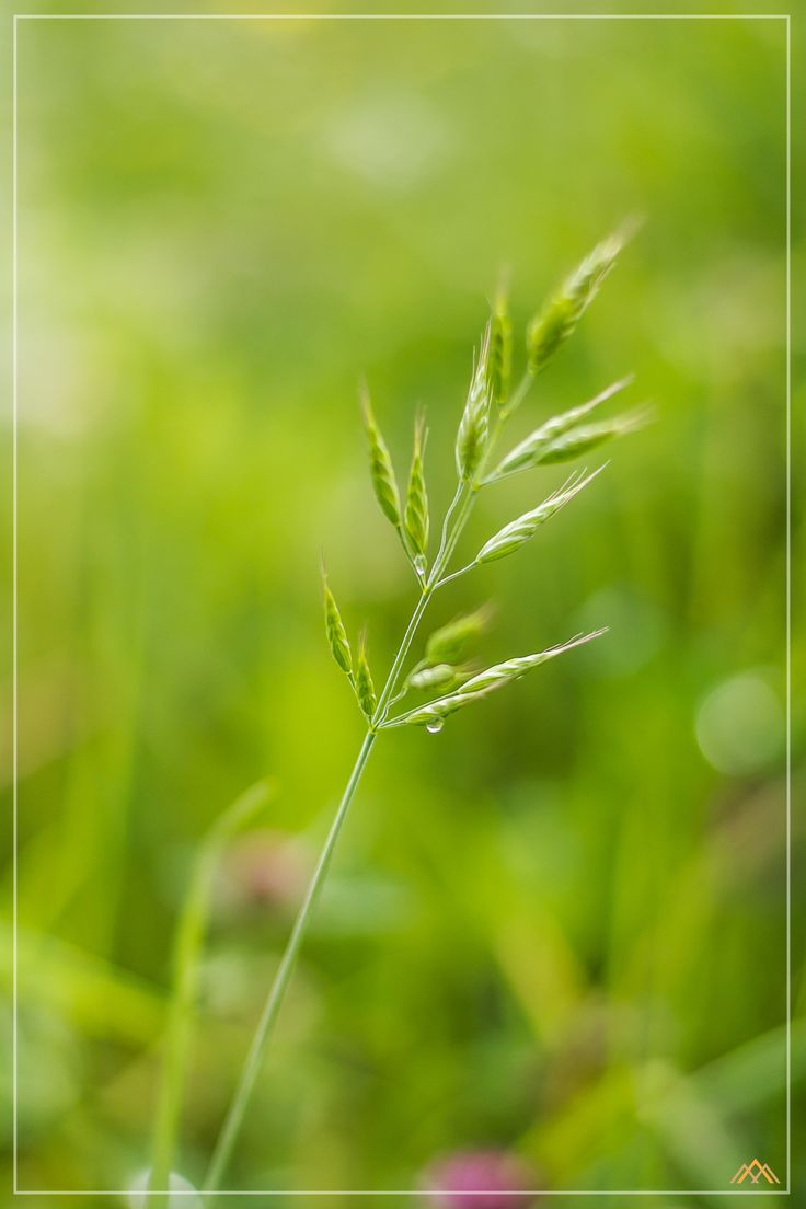 Blade of Grass in the Wind