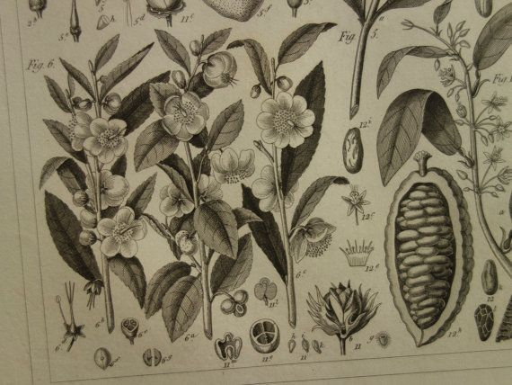 165 years old botanical print  lovely original 1849 antique