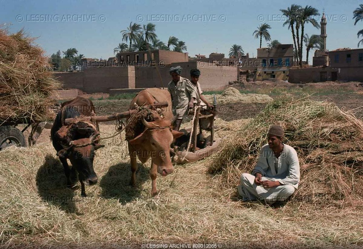 Threshing corn in Egypt.   Lessing Photo Archive