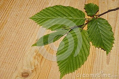 Leaves in shades of fresh green on a background wood