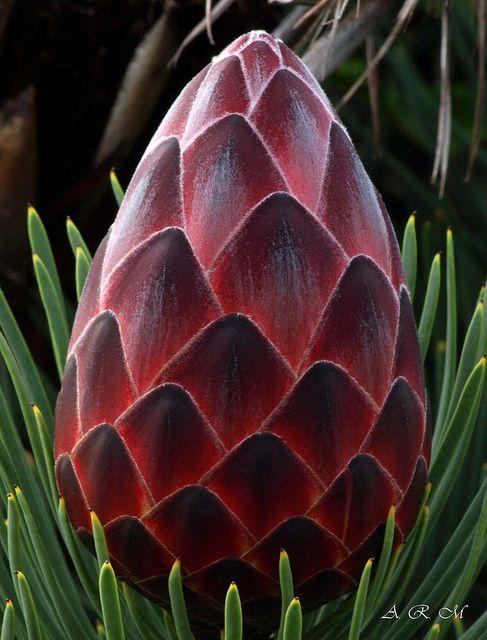 Red Hot Protea - Maui, Hawaii