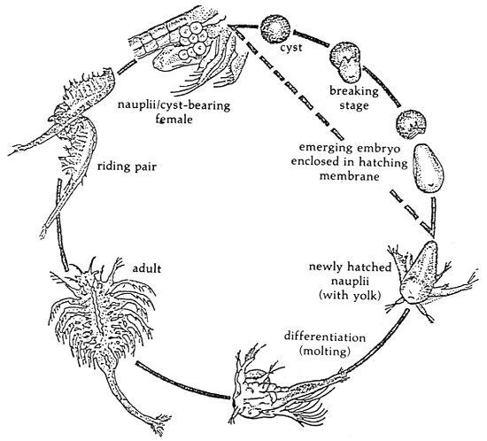 Brine Shrimp Cycle Google Search Science Pinterest