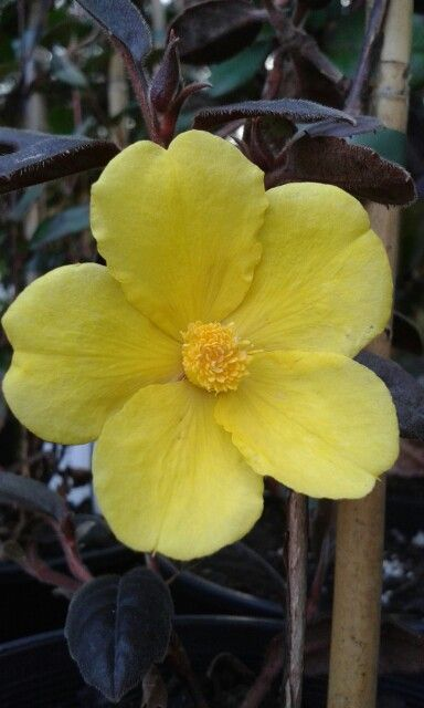 Australian native - Hibbertia dentata