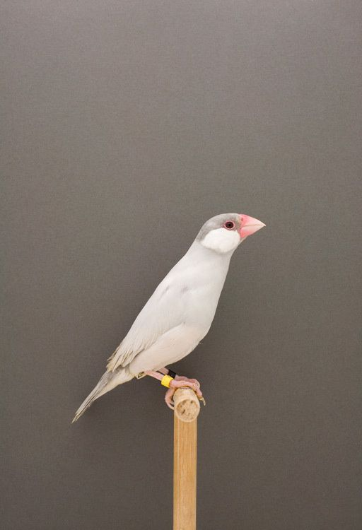Java Sparrow... Restrained and elegant feather colours...'