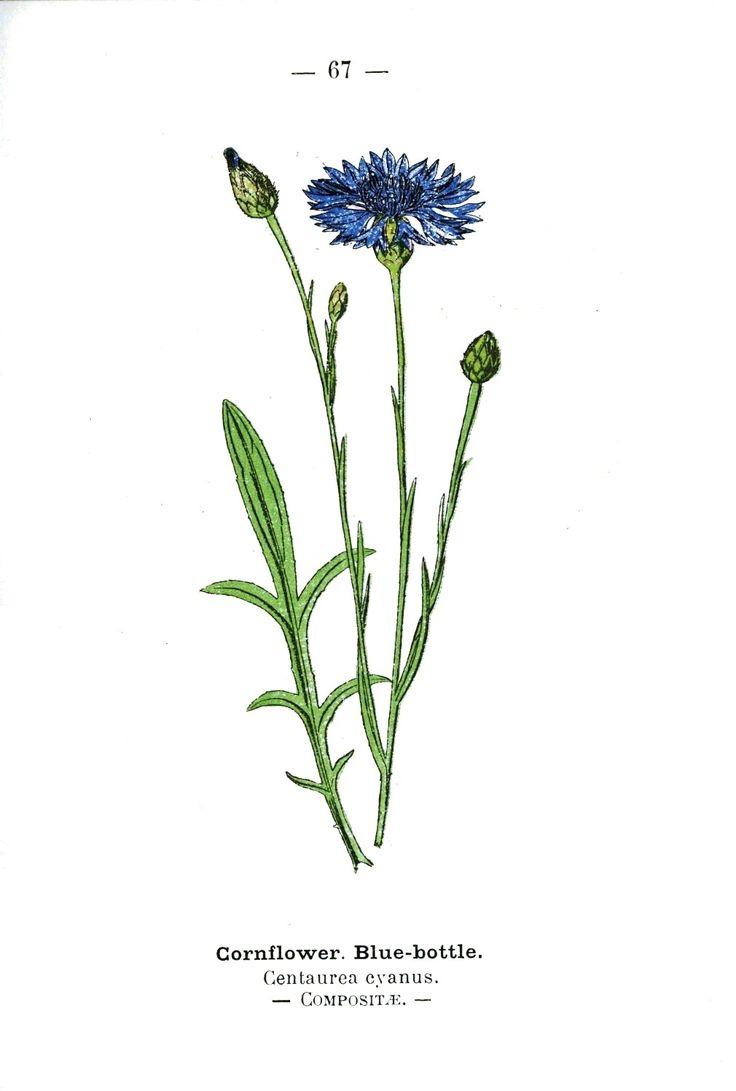 Botanical - Flower - Blue Cornflower - Wayside and Woodland 1895 - Plate66