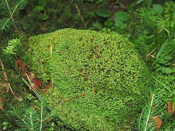 vršatka Taylorova (MYLIA TAYLORII) V ČR se vyskytuje na Šumavě, v Jizerských horách, Krkonoších... hojně na pískovcových skalách, v pískovcových oblastech roste hojně i na tlejícím dřevě. Tvoří mohutné, rozlehlé, často vyduté porosty zeleně až karmínově červeně. Lodyhy 3–10 cm dlouhé. Tobolka krátce vejčitá.  Díky své velikosti v terénu snadno poznatelný druh.