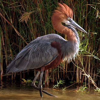 Goliath Heron, Kruger National Park