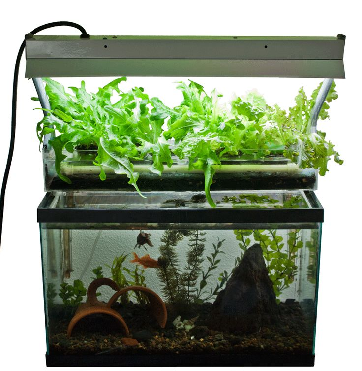 Fish tank aquaponics system check out my personal for Fish used in aquaponics