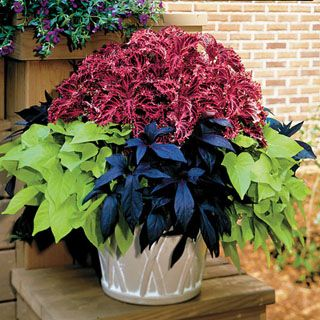 A combination of Coleus and 2 Sweet Potato varieties in plant form.