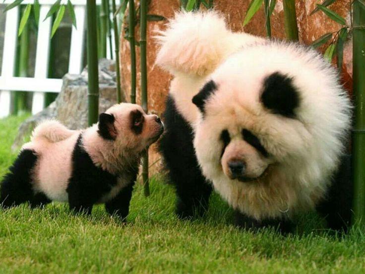 Best 25+ Tibetan Mastiff Cost ideas on Pinterest   Red ...