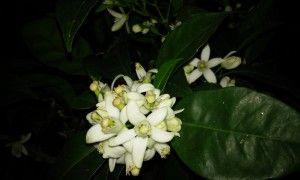 Aceite de flores de naranjo