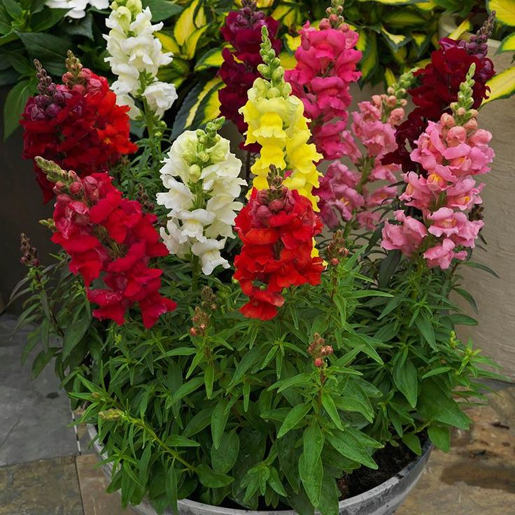 Snapdragon Sonnet Mix F1 - Great choice for beginner gardeners! Snapdragon Sonnet Mix is ideal for fall and spring. With a strong root system and the main stem surrounded by numerous flowering spikes, Sonnet's long flowering season provides a vibrant show of color in every situation. #gardentrends #flowergarden #snapdragon #growyourown #pallensmith