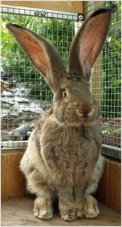 Bunny - My, what big ears you have!