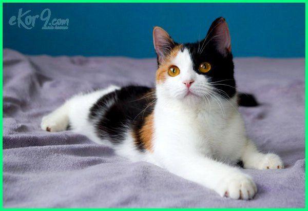 Kucing Anggora Belang Telon Majalah Cat Dog