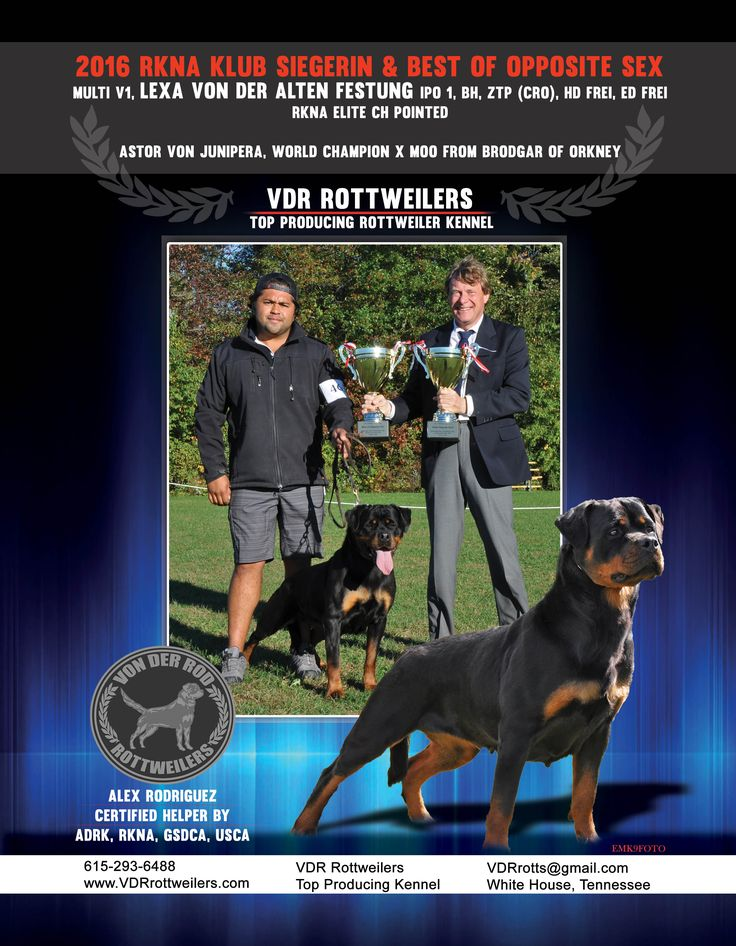 VDR Rottweilers top producing Rottweiler kennel  Alex Rodriguez Certified Helper by ADRK, RKNA, GSDCA, USCA  Available to handle or train your dog for show  615-293-6488 vdrrotts@gmail.com White House, Tennessee www.VDRrottweilers.com