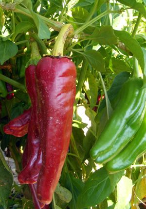 51 best images about seeds new mexico state university - Best romanian pepper cultivars ...