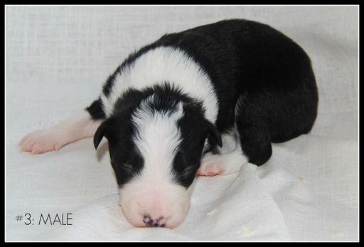 Litter of 7 Border Collie puppies for sale in WHITE SALMON, WA. ADN-54444 on PuppyFinder.com Gender: Male. Age: 2 Weeks Old