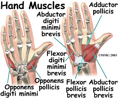 Hand Anatomy, Hand Muscles