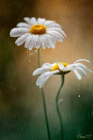Daisies in the Rain spring rain flowers animated gif daisy april spring rain showers