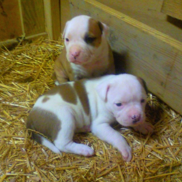 American Bulldog puppies about a month old!!!!   THESE WILL BE EVERYWHERE IN MY HOME!