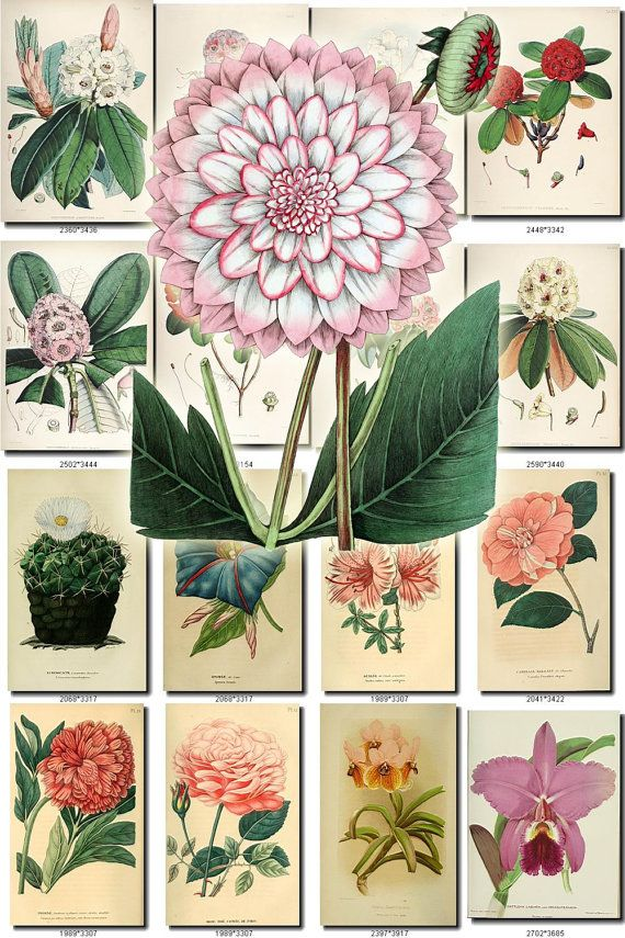 FLOWERS-114 Collection of 175 vintage images Rhododendron
