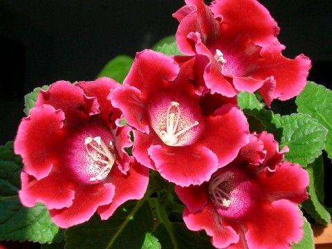 2 простых способа выращивания глоксинии – из семян и клубней