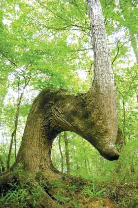 This tree is said to be a marker tree that the American Indians used to find their way in the forest and along rivers.