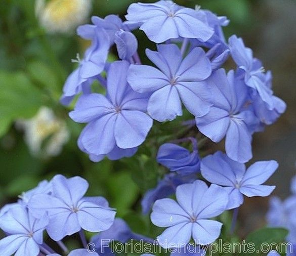 Plumbago - Can grow to 3-5ft high and wide. Nice coloring and a perennial at that!