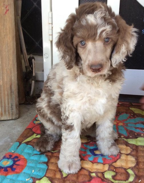 Standard poodle animal rescue