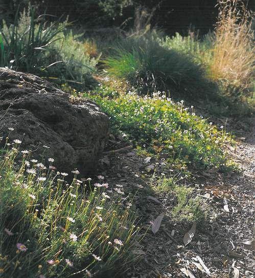 Brachyscome in a rockery (The Natural Australian Garden - Gordon Ford)