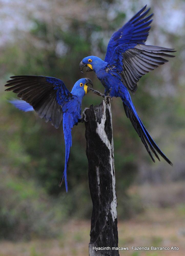 Hyacinth Macaw  Labels brazil  hyacinth  macaw  pantanal  BIRDS 3  Parrot Pet birds