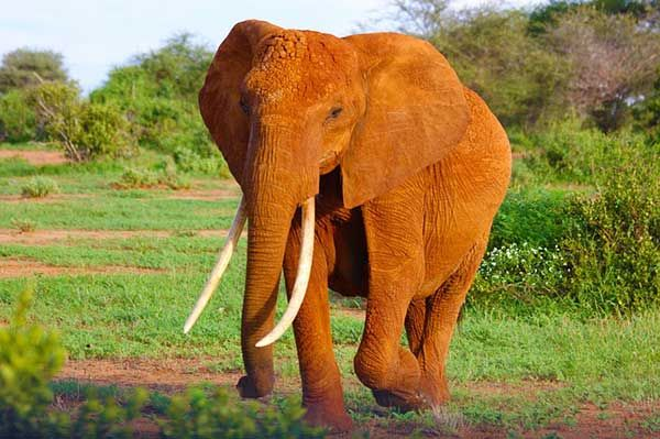 Open Letter to South African National Parks on Trophy Hunting of Tuskers