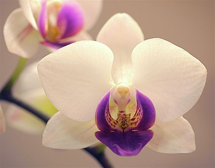 orchid - Orchid