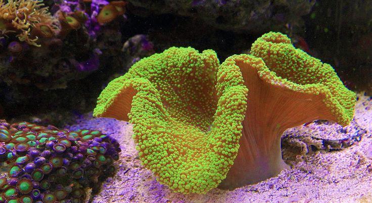 Groene tapijt anemoon in zeewater aquarium