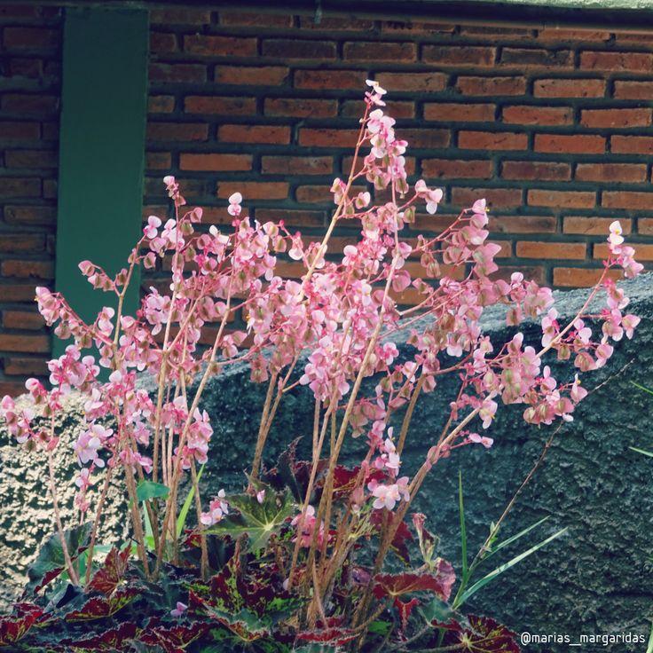 Passionate about plants and addicted to taking pictures of this beautiful ❤ . Taken by: anasanches.arq Our shop: laschicas.atelie #flores #flowers #rosa #pink #plantas #plant #garden #bauru #baurucity #zoologico #zoo #brasil #estadodesaopaulo #flowergram #flowerlover #botanical #flowerstagram #petals #flowerslovers #floweroftheday #mariasmargaridas