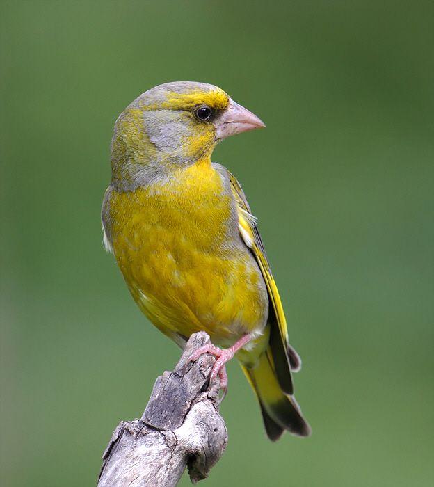 Groenling - In de winter als het voedsel schaars is, komen de groenlingen in gezelschap van andere vogelsoorten zoals de vinken, mezen, merels en spreeuwen op de voederplaatsen bij de huizen af.
