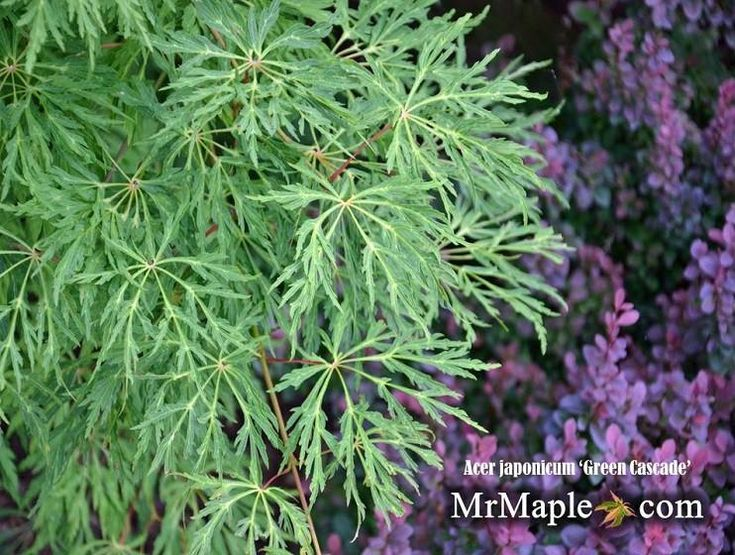 Buy Acer japonicum 'Green Cascade' Japanese Maple – Mr Maple │ Buy Japanese Maple Trees - AFTER READING THIS - I WANT TO BUY THIS TREE FROM THIS COMPANY!!
