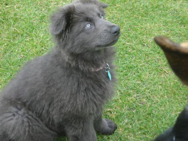 17 best ideas about blue german shepherd on pinterest