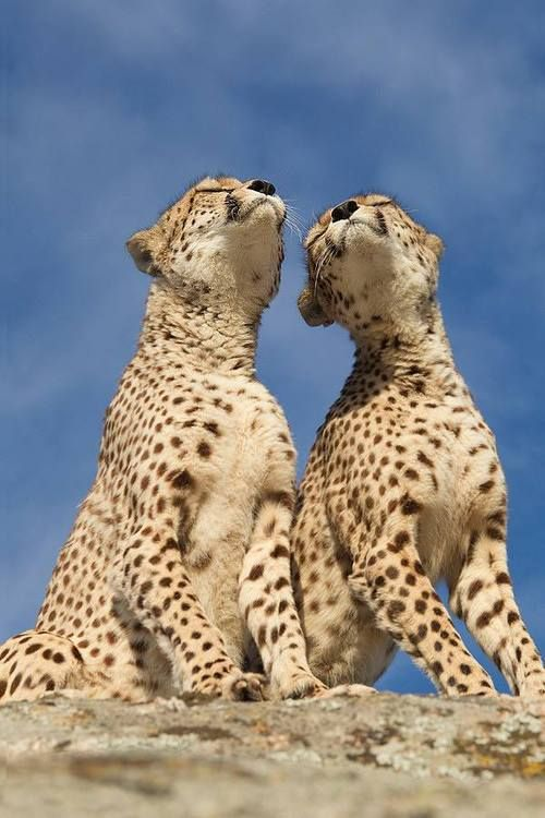 Happy cheetahs.