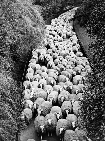 Sheep on Path Elevated View (B&W)  Hulton Archive