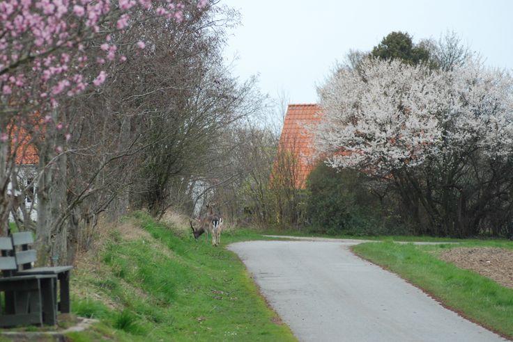 Dådyrene kommer forbi udsigtsbænken under de blomstrende træer næsten hver dag.
