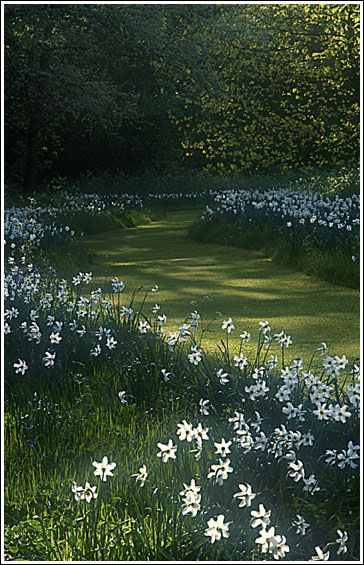 Mown ride lined with Narcissus Poeticus