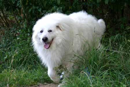 Gardien des troupeaux en montagne Le Montagne des Pyrénées (ou désigné aussi sous le nom de Patou) est à la base un chien de protection pour la garde des troupeaux en montagne avec lesquels il est souvent sociabilisé et accoutumé dès son plus jeune âge....