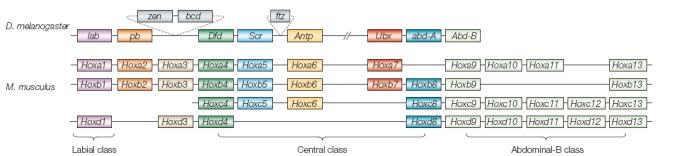 Genomic Organization of the Hox Gene Cluster.