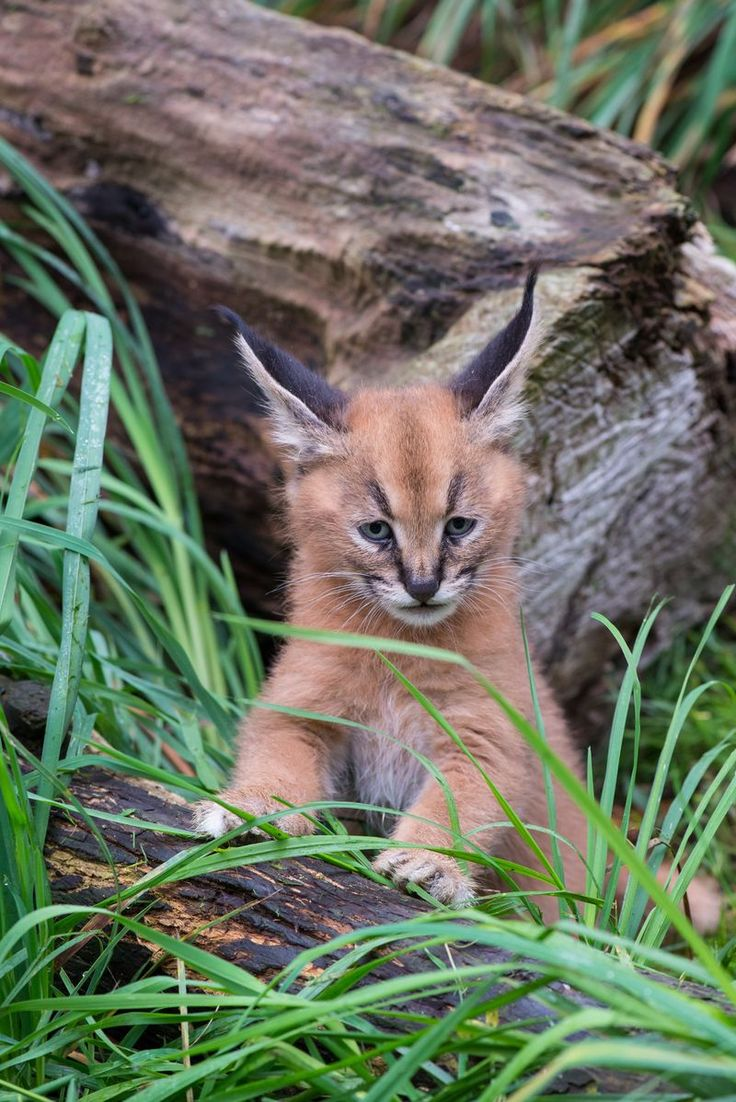 Recently Named Caracal Kittens Go Exploring