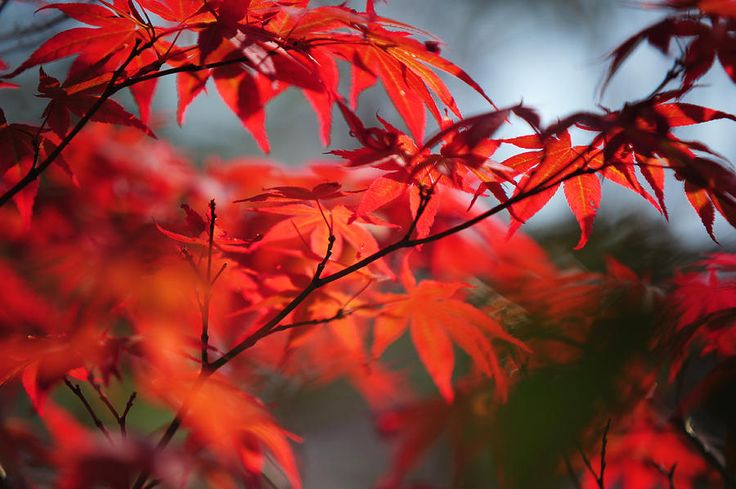 Tree In Passion. Japanese Maple by Jenny Rainbow
