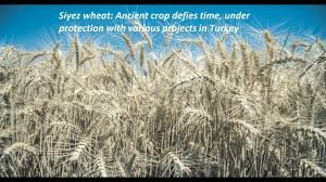 Grain and Cereal Crop Protection Market 2018 Global Industry Key Players: Bayer CropScience, Syngenta, Dow AgroSciences, BASF, FMC, Sinochem Group, Agrium etc. Analysis and Forecast