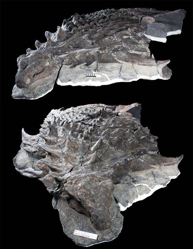 """Un articolo pubblicato sulla rivista """"Current Biology"""" descrive lo studio dei fossili eccezionalmente conservati di un dinosauro corazzato che è stato chiamato Borealopelta markmitchelli. Classificato come parte della famiglia dei nodosauridi (Nodosauridae), secondo i ricercatori di MIT, Newcastle University, University of Bristol e Royal Tyrrell Museum che l'hanno esaminato nonostante l'armatura veniva cacciato da predatori. Leggi i dettagli nell'articolo!"""